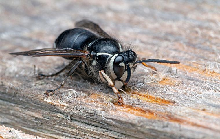 a bald faced hornet chewing on wood