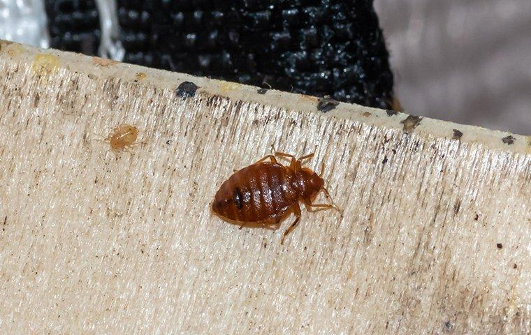 a bed bug crawling on a boxspring