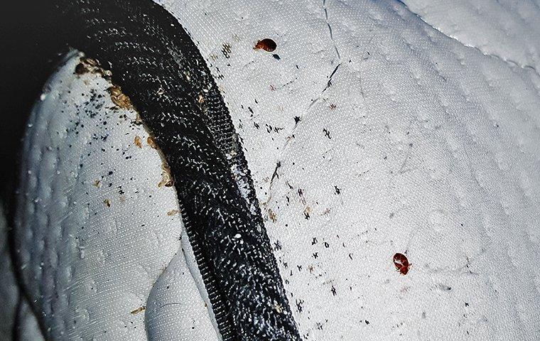 a bed bug infestation on a mattress