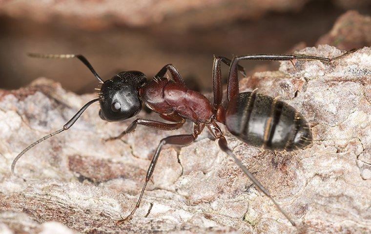 a carpenter ant crawling in its nest