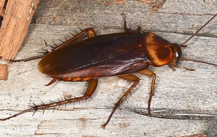 a dark red cockroach crawling along a residential porch deck