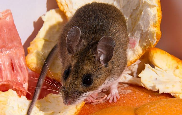a house mouse feasting on scraps on a portland oregon kitchen table