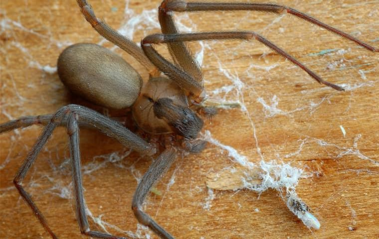 learn about brown recluse spiders