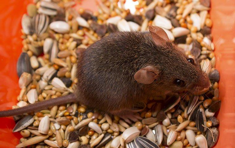 a mild mannered house mouse eating food