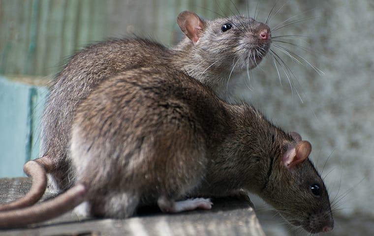 norway rats infesting a portland oregon home