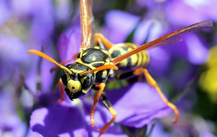 a protective paper wasp searching for nectar in a portland maine home