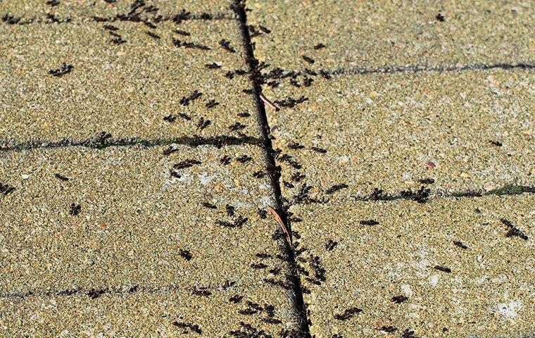 pavement ants on a patio