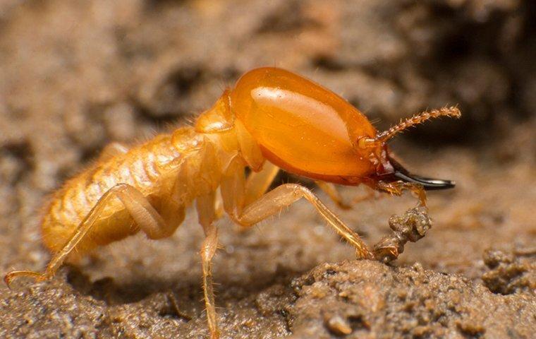 subterranean termite crawling in wood