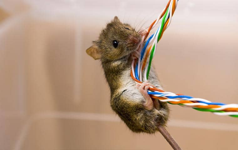 mouse climbing up and damaging electrical cords