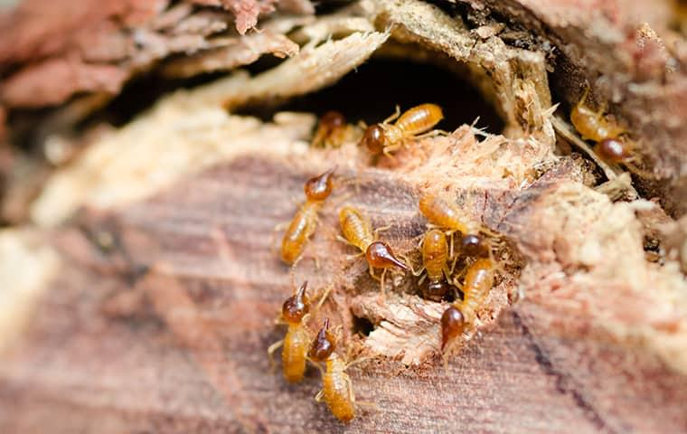 a large swarm of termites tunneling through a wooden structure on a