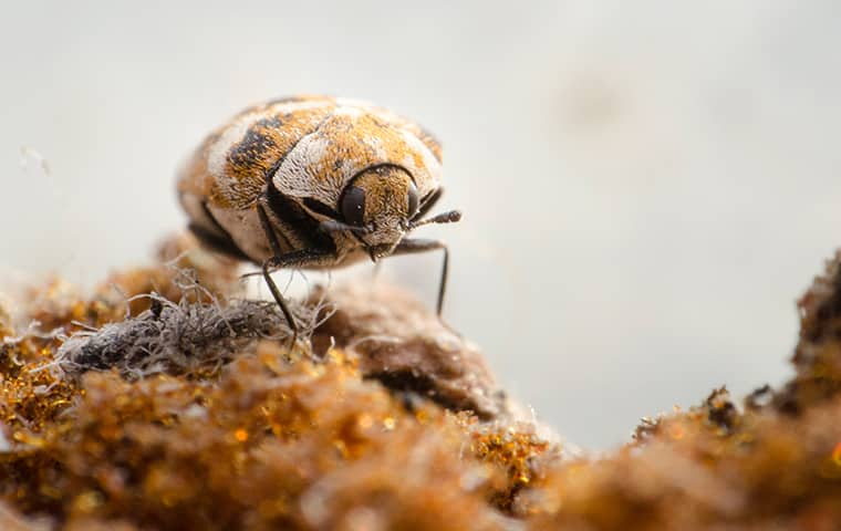 close up of a carpet beetle crawling in a woodburn home