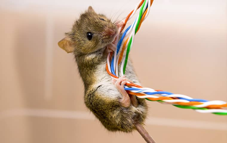 a rodent chewing on electronic wires in an oregon home
