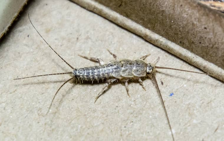 a grey silverfish crawling across the floor of a woodburn home
