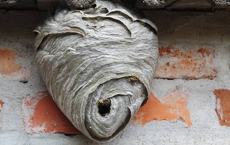 a colonized wasp nest on the exterior of a woodburn home