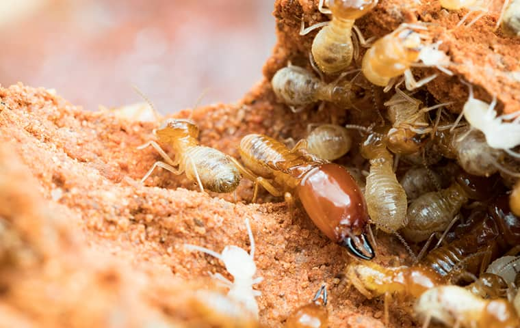 many termites crawling on damaged wood in a portland home