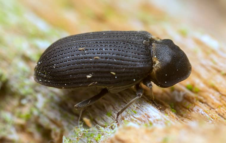 a wood boring beetle crawling across damaged wood in a salem home