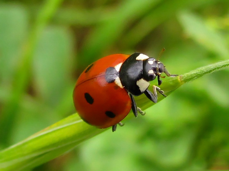 Ladybug on blade of grass
