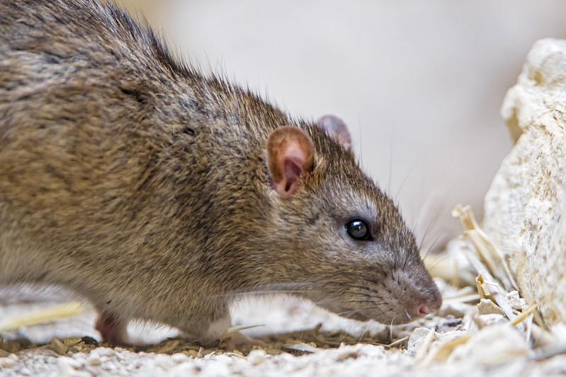 Norway Rat sniffing around
