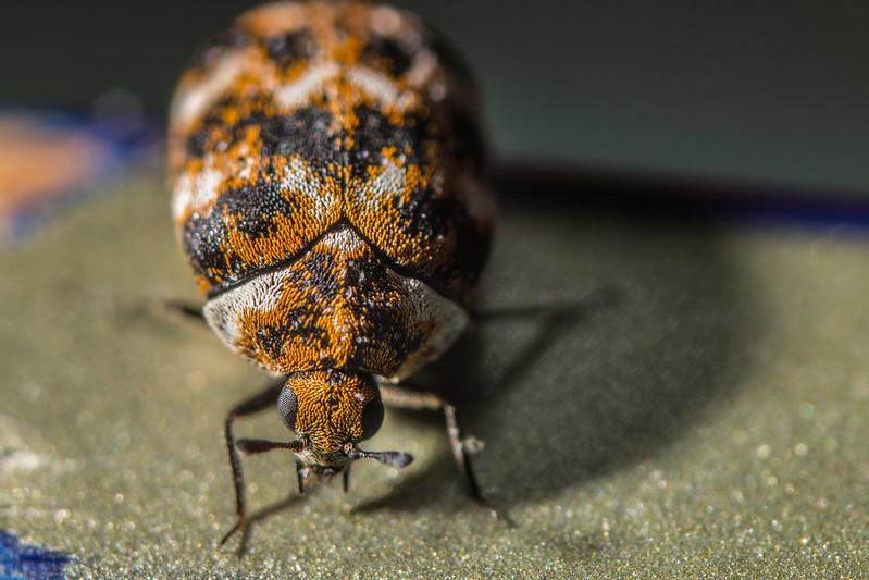 Carpet beetle crawling around