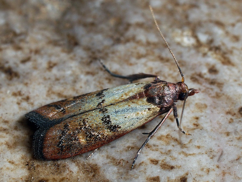 Indian meal moth close up