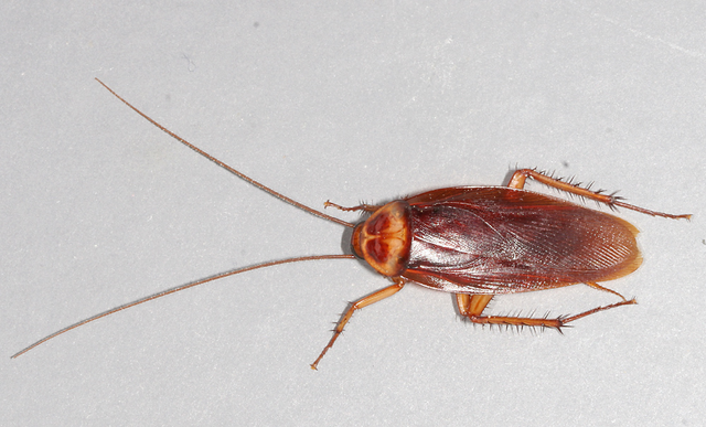 Cockroach, a bug you might find in your pantry