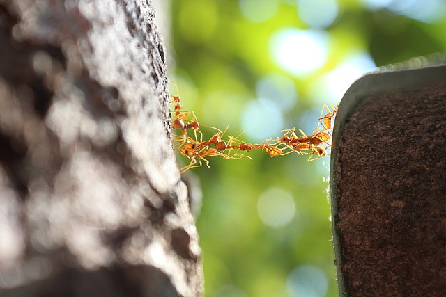 Ants working together to build a crossable ant bridge