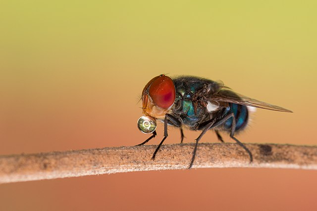 Fly resting on a twig