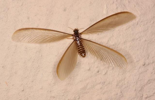 Termite swarmer close up