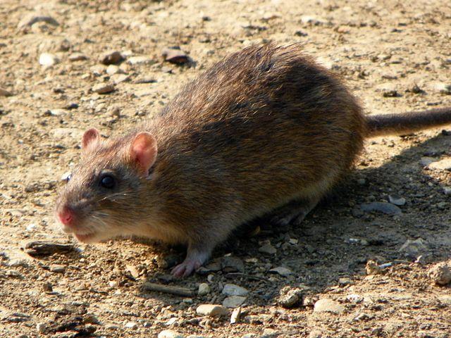 Norway Rat looking at camera