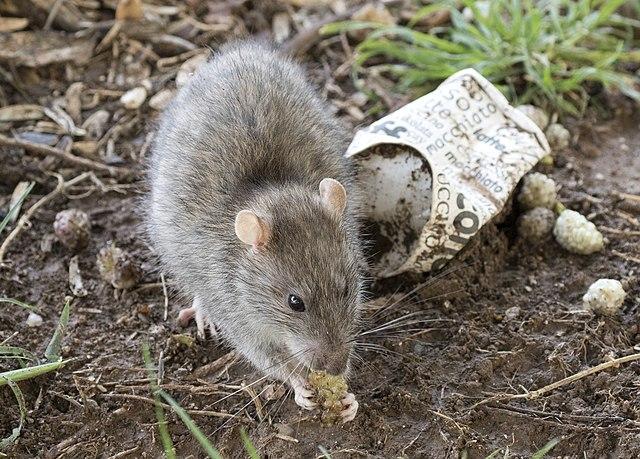 Norway rat eating food