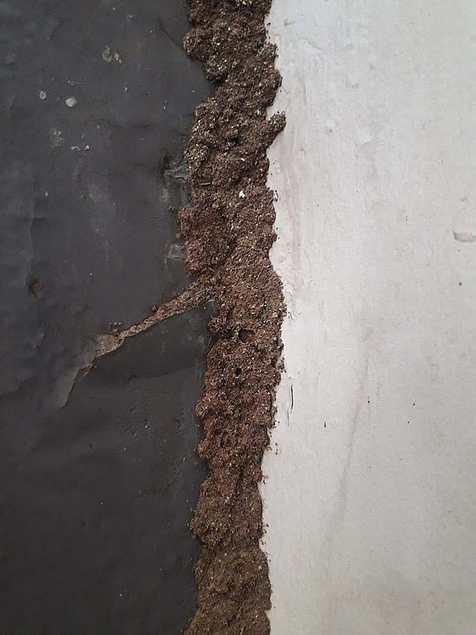 Termite mud tube along wall