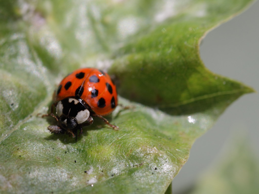 Japanese Lady Beetle with red body and black spots on a leaf