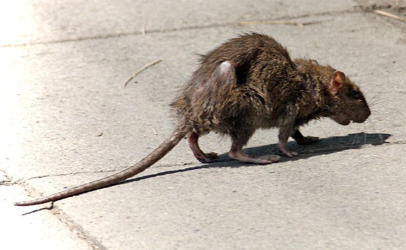 Sick looking rat