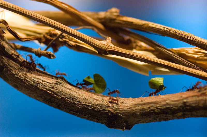 Line of ants carrying vegetation back to their colony