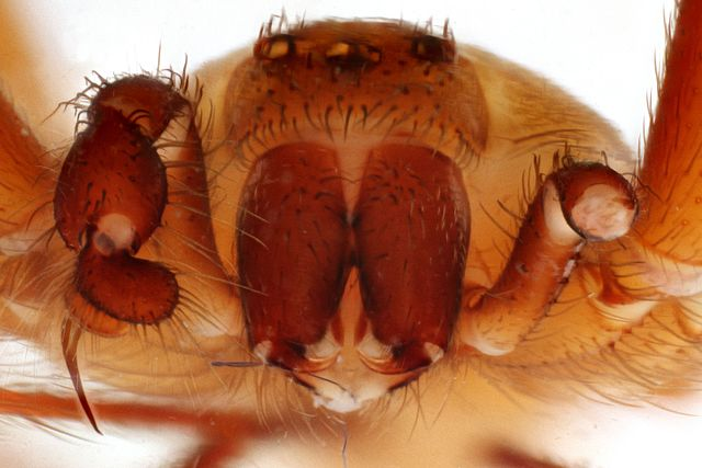 Close up of brown recluse spider's face
