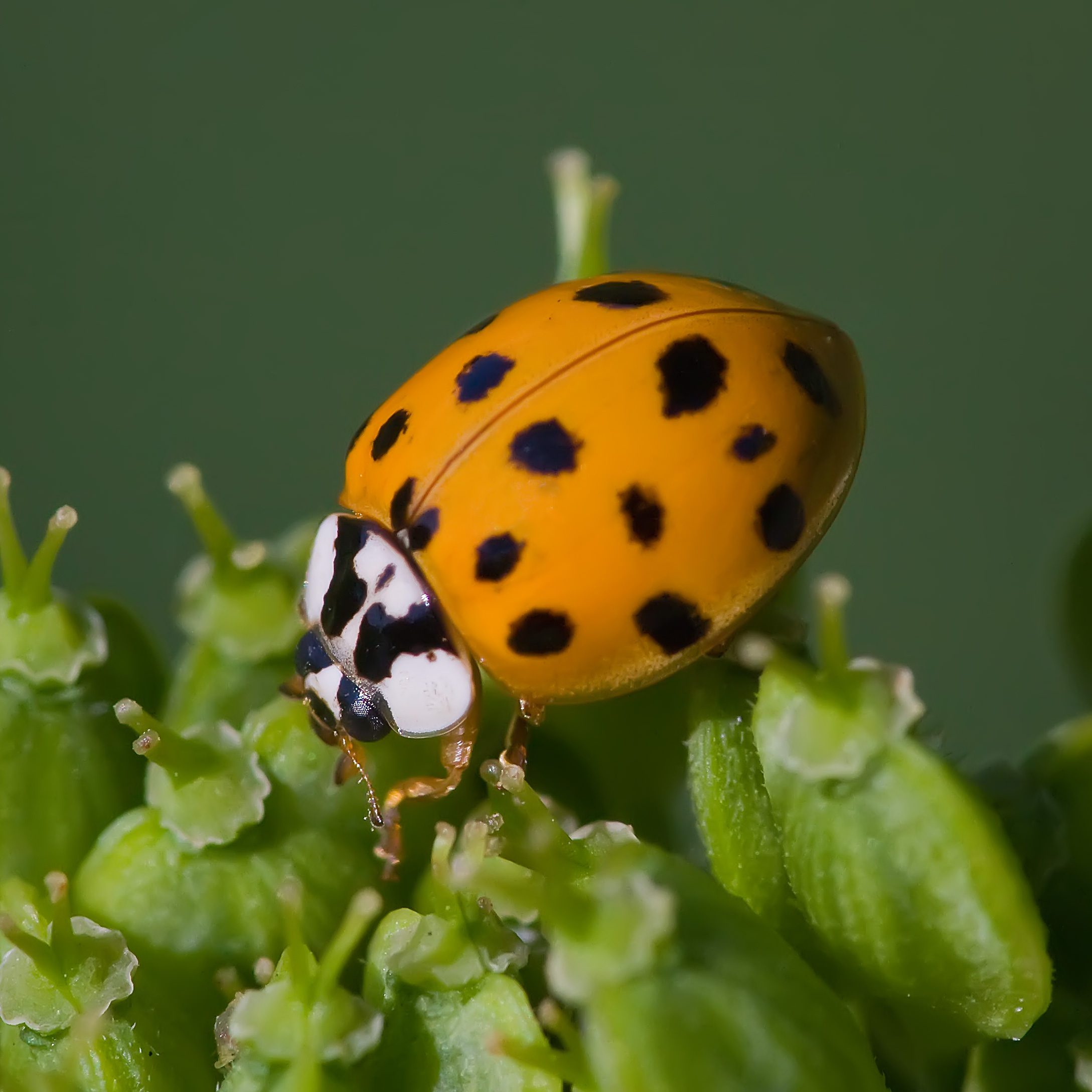 Japanese Lady beetle with yellow body and black spots on plant