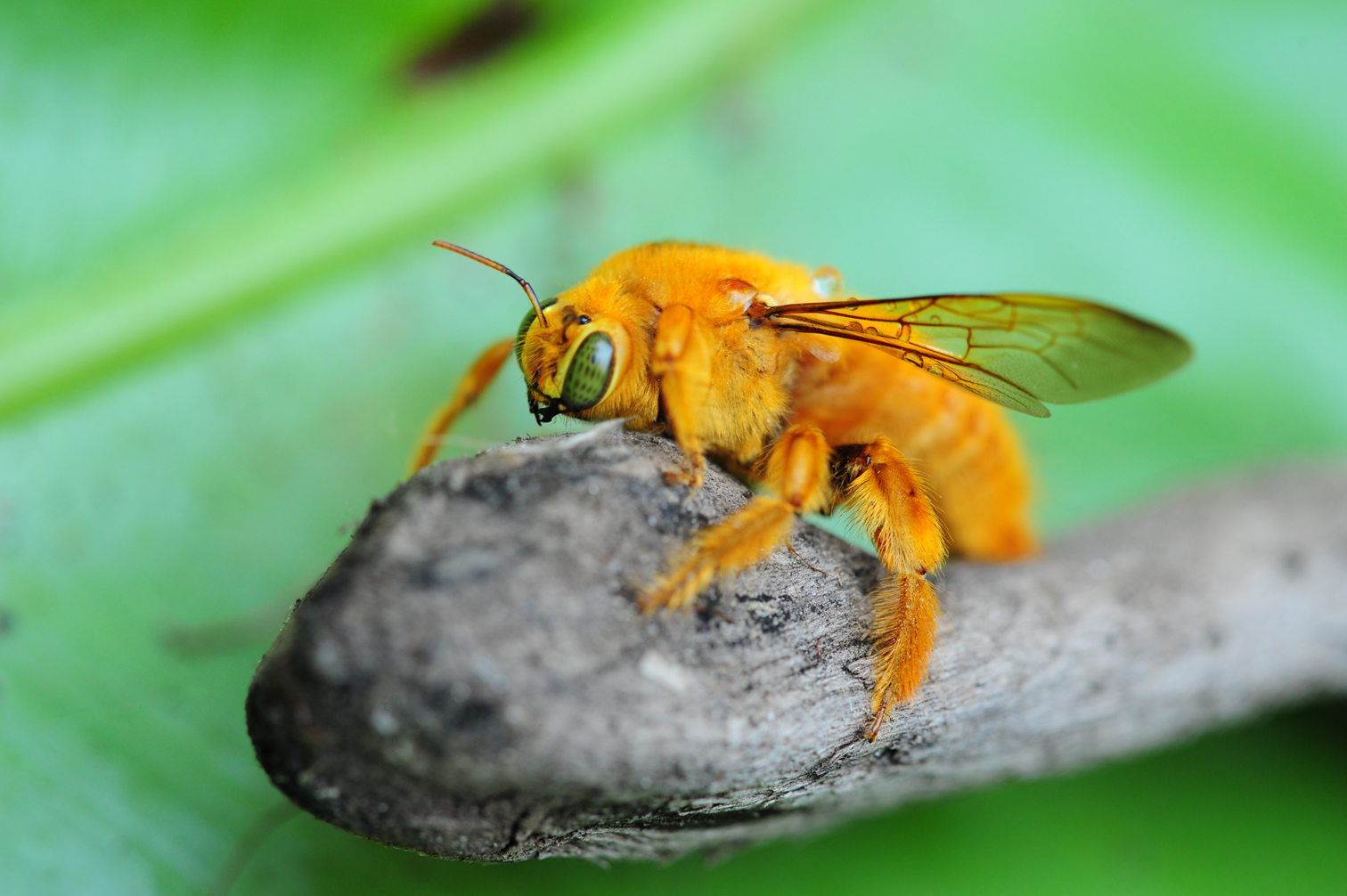 Fuzzy carpenter bee perched on a plant