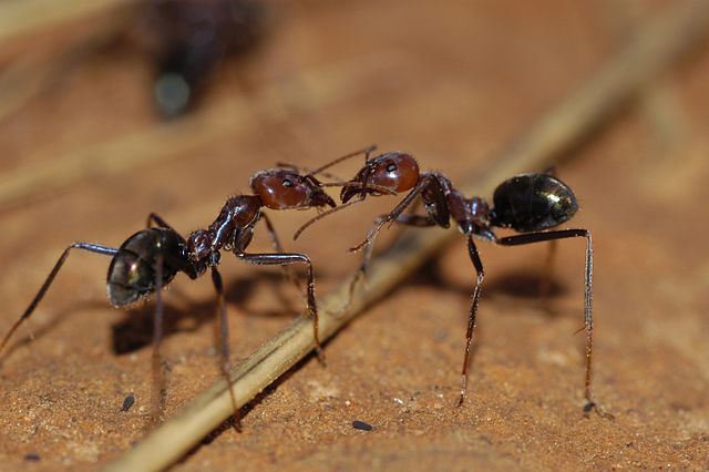Two ants communicating via antennae