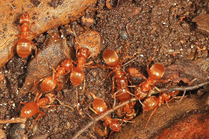 Group of citronella ants