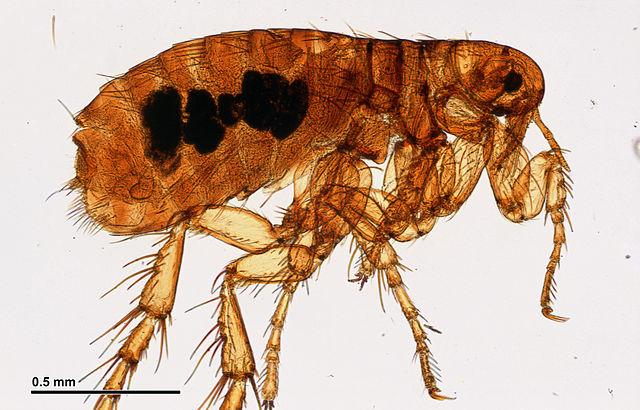 Up close flea