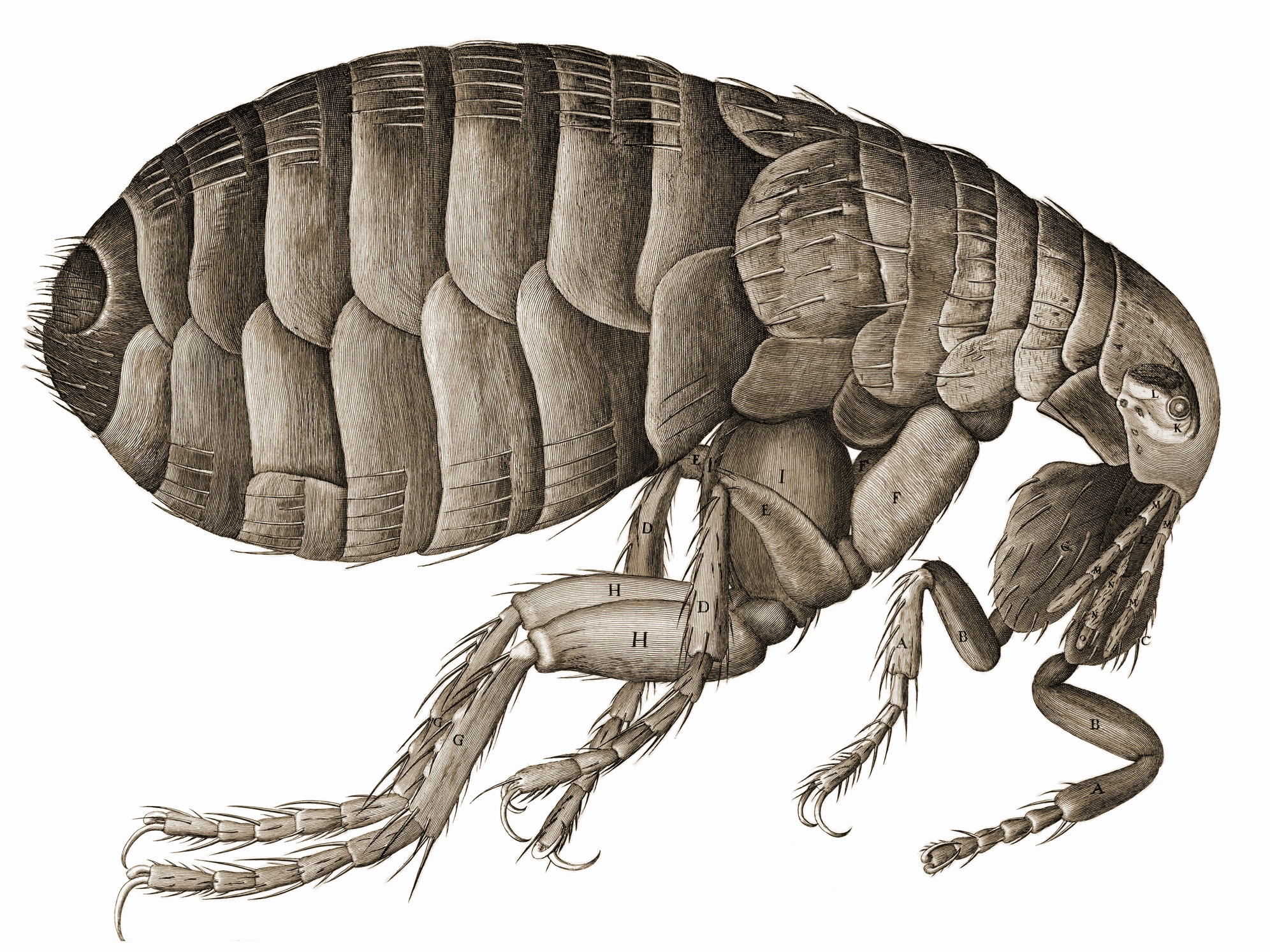 A flea - the carriers of the Bubonic Plague