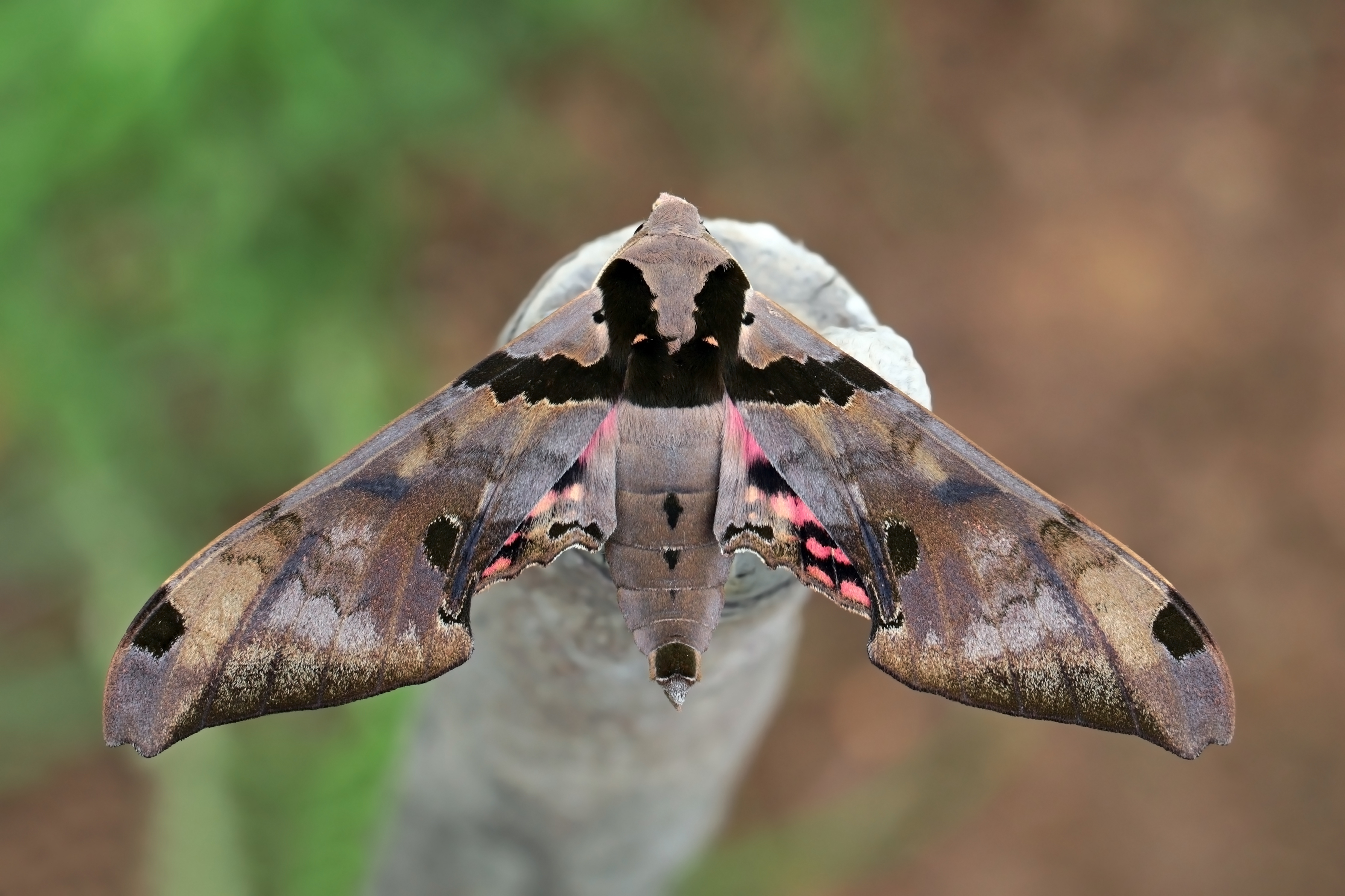 Moth with wings spread