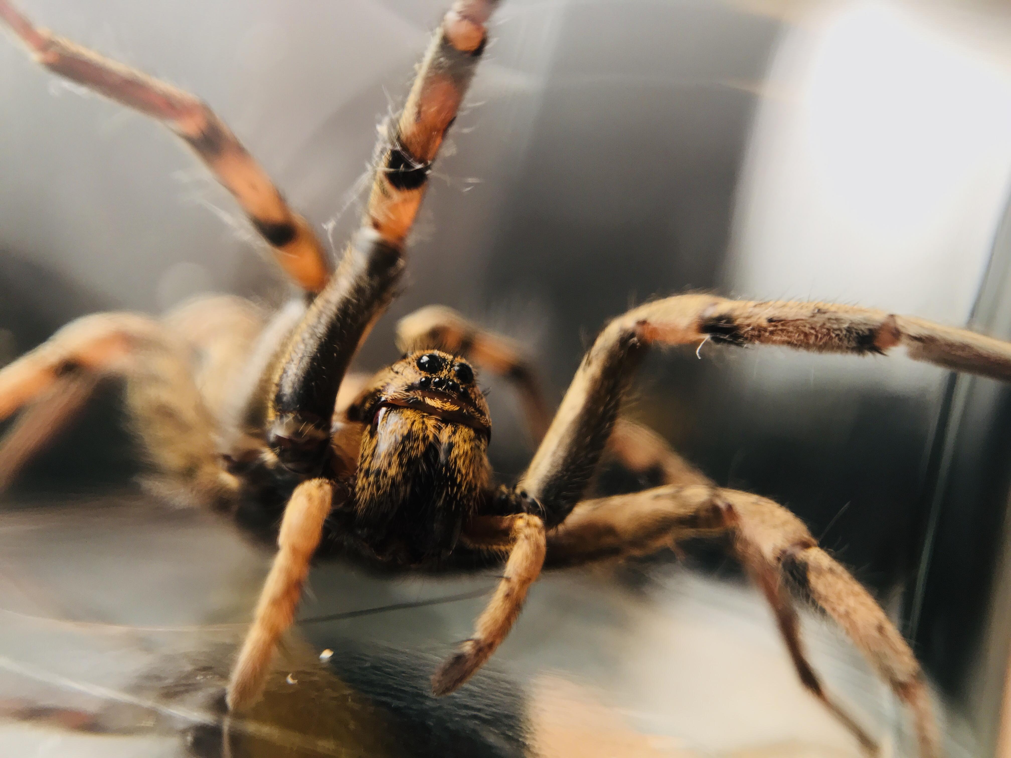 Wolf Spider ripping through web