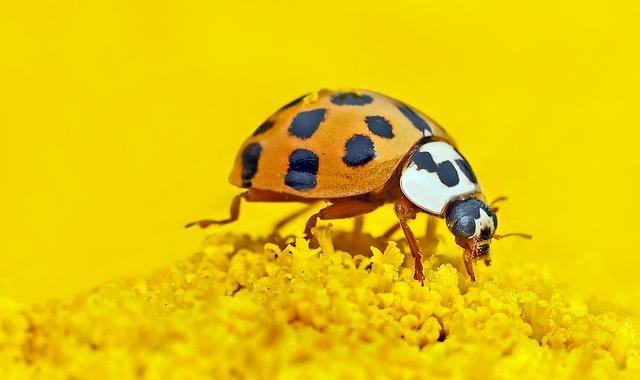 Asian Lady Bug close up