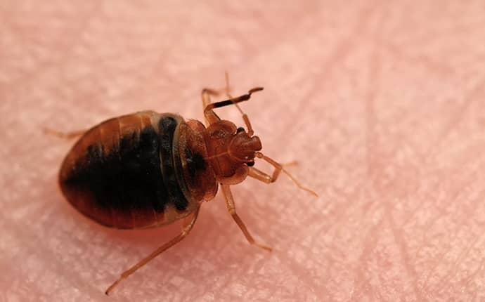bed bug crawling on sherrils ford resident