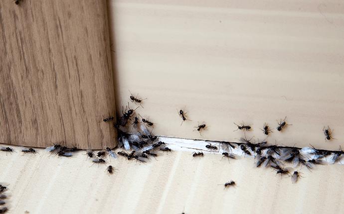 ants in kitchen
