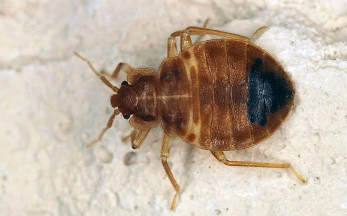 bed bug up close in north carolina home