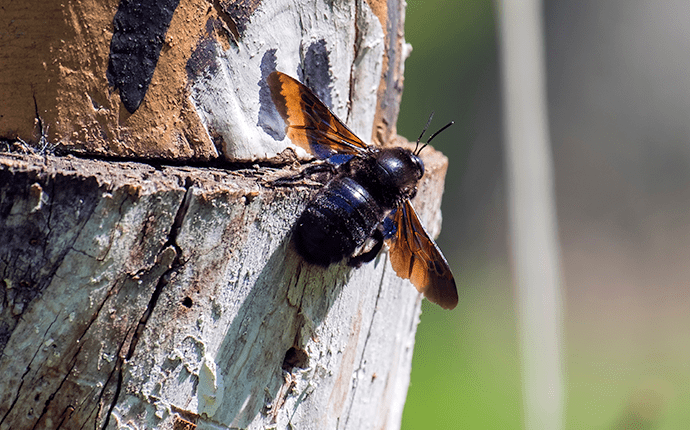 carpenter bee up close