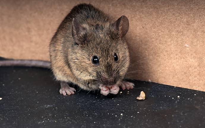 Brown Mouse Chewing in North Carolina Home