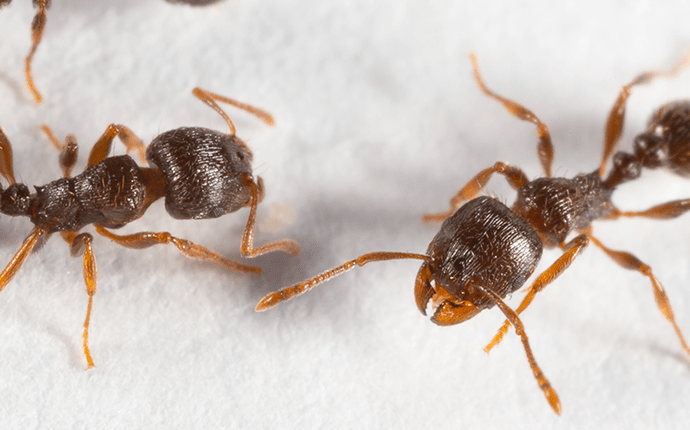 two pavement ants on a white cloth background